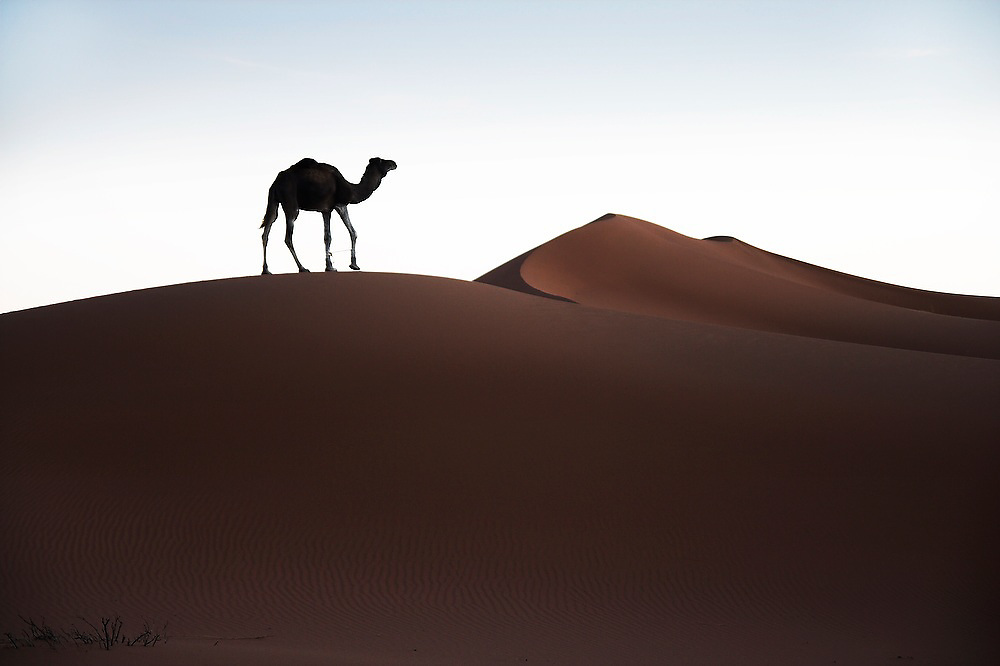 A lone camel, its front legs tied by its keeper to prevent it from running away, walks in search of food around camp among the large sand dunes of Erg Zehar near M'hamid, Morocco.