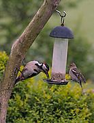 Male Great spotted woodpecker, Dendrocopos major, sharing bird feeder with female chaffinch, Fringilla coelebs, in garden, Lancashire, UK