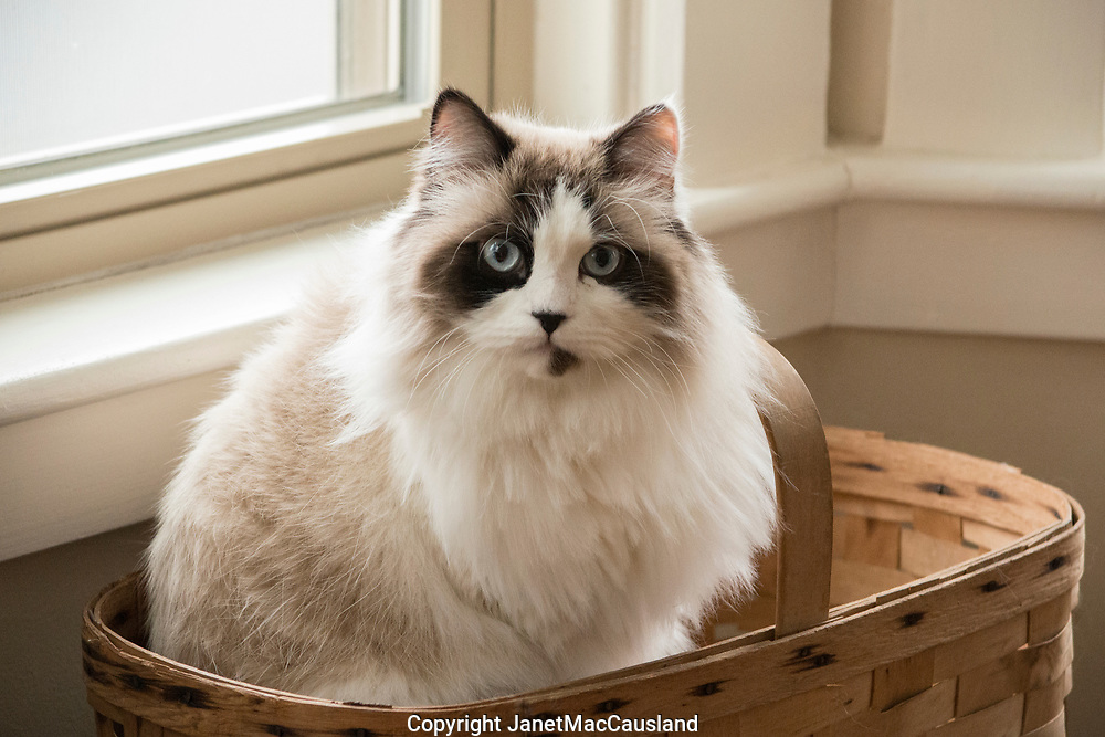 This is a portrait of a Rag Doll Cat <br />  in a basket on location at a private home.