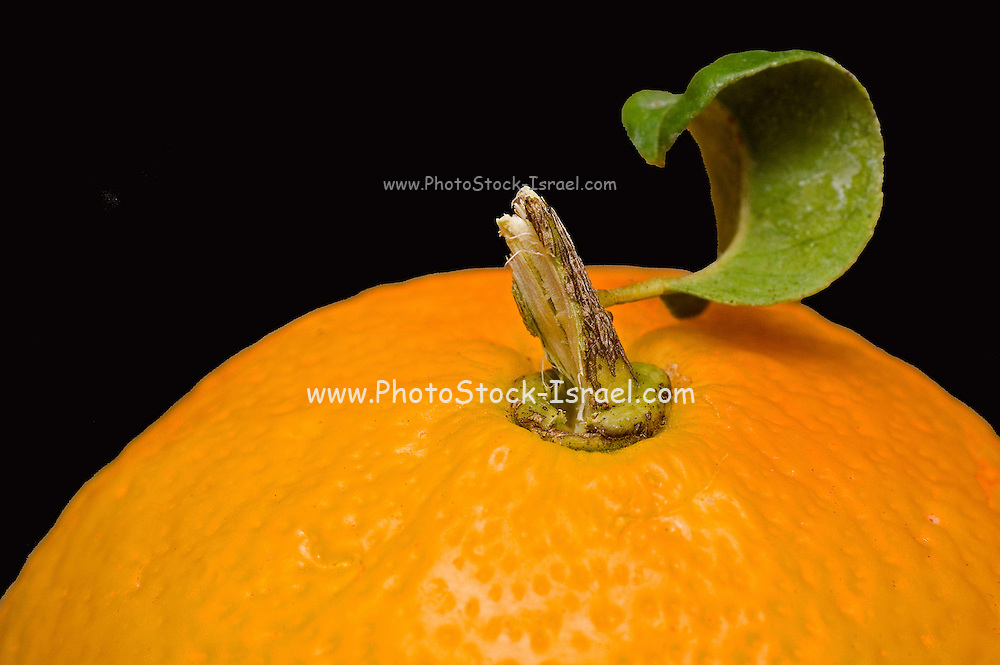 Close up of a freshly picked orange with stub and leaf on black background