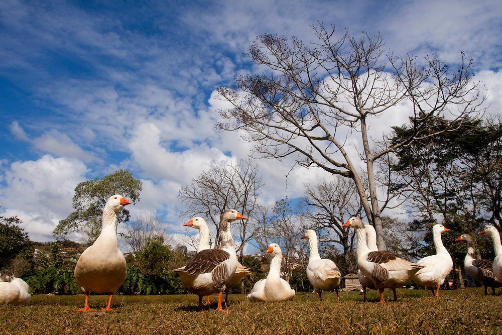 Caxambu_MG, Brasil...Patos no Parque das Aguas em Caxambu...Ducks in the Parque das Aguas in Caxambu...Foto: MARCUS DESIMONI / NITRO