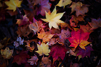 A colorful mix of Autumn leaves.