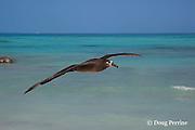black-footed albatross, Phoebastria nigripes, flying, Sand Island, Midway Atoll, Midway National Wildlife Refuge, Papahanaumokuakea National Monument, Northwest Hawaiian Islands ( North Pacific Ocean )