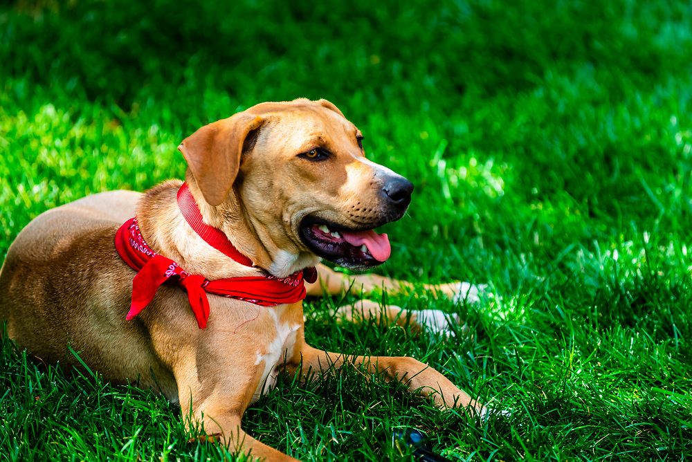 A Rhodesian Ridgeback/Lab mix dog relaxing in the backyard, Littleton, Colorado USA.
