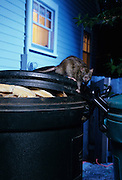 A brown rat (Rattus norvegicus) scavengin in a residential garbage can. Portland, Oregon. These rats are not native, but are european in origin and have followed human settlements around the world. Captive illustration.