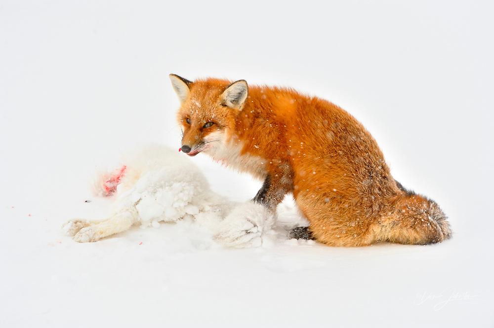 Red fox (Vulpes vulpes) consuming an Arctic Fox (Alopex lagopus) carcass it killed, Wapusk NP, Cape Churchill, Manitoba, Canada