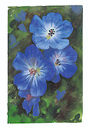 Illustration of blue blossoms. (Paul Schmid / The Seattle Times)