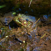 Bullfrog at the Sourland Mountain Reserve.  Image taken with a Nikon D3s and 70-200 mm  f/2.8 VR lens + TC-E III 20 teleconverter (ISO 400, 400 mm, f/5.6, 1/500 sec). Raw image processed with Capture One Pro, Focus Magic, and Photoshop CS5.