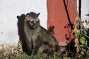 Asian palm civet (Paradoxurus hermaphroditus)<br /> Chambal Safari Lodge<br /> National Chambal Sanctuary or National Chambal Gharial Wildlife Sanctuary<br /> Madhya Pradesh, India<br /> Range: Native to India and SE Asia
