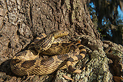 Louisiana Pine Snake (Pituophis ruthveni)<br /> CAPTIVE<br /> The Orianne Indigo Snake Preserve<br /> Telfair County, Georgia<br /> USA<br /> HABITAT & RANGE: Longleaf pine habitats of the southeastern USA. Indigenous to west-central Louisiana and eastern Texas.<br /> IUCN STATUS: ENDANGERED SPECIES
