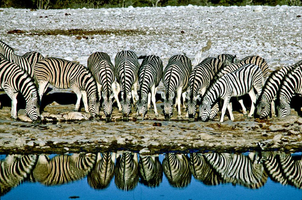 Africa: Namibia Zebra at  a watering hole, in Etosha National Park.