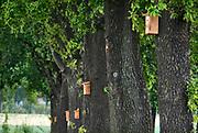 Nederland, Groesbeek, 20-5-2020 Op een rij eikenbomen langs een weg hangen nestkastjes om mezen te lokken die vervolgens de rupsen gaan eten . Op deze manier hoopt de gemeente de eikenprocessierups overlast tegen te gaan . Foto: Flip Franssen