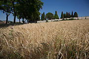 Field of wheat ready for harvest in Tournissan, Languedoc-Roussillon, France. Golden colour in the sunshine, these ripe heads of grain (also known as corn) are a crop ready to be harvested. Wheat is a cereal grain cultivated worldwide. In 2013, world production of wheat was 713 million tons, making it the third most-produced cereal.