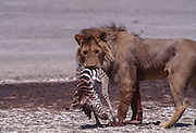 Two male lions fight over baby zebra killed by female, Serengeti National Park Tanzania