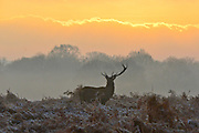 © Licensed to London News Pictures. 10/12/2013. Richmond, UK. A stag deer with only one antler grazes in the frosty bracken.  Sunrise and deer in Richmond Park, Surrey, this morning 10 December. Photo credit : Stephen Simpson/LNP