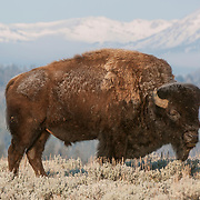 Bison in Yellowstone National Park during springtime.