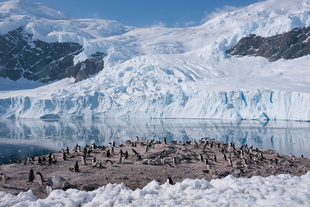 Gentoo Penguin colony in Neko Harbor, on the eastern shore of Andvord Bay. Antarctic Peninsula. Large glacier calving in the background.