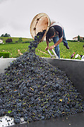 Carrying grapes in a basket. Gamay. Domaine Tracot Dubost, Beaujolais, France