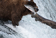 Bear 775, Lefty, catches a salmon while standing on the lip of Brooks Falls in Katmai National Park, Alaska