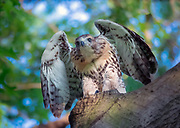 The juvenile red-tailed hawk in Central Park, NYC. is in Central Park, NYC.