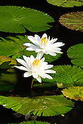 The white flowers really stood out against the green leaves and black water.  The resulting design was remarkable and very mesmerizing.