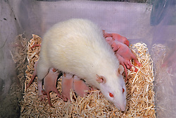 Baby Lab Rats & Mother