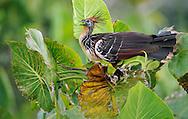 Hoatzin, Opisthocomus hoazin, Napo wildlife lodge, Amazonas, Ecuador, South America