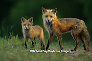 01871-01210 Red fox (Vulpes vulpes) adult with kit    IL