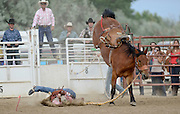 Saddle Bronc rider Ben Corchado gets bucked off his ride during the CPRA Rodeo at the Boulder County Fairgrounds on Sunday. Go to timescall.com for more photos.<br /> <br /> Matthew Jonas / Staff Photographer Aug. 2, 2015