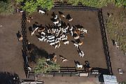 Cattle<br /> Savanna <br /> Rurununi<br /> GUYANA<br /> South America