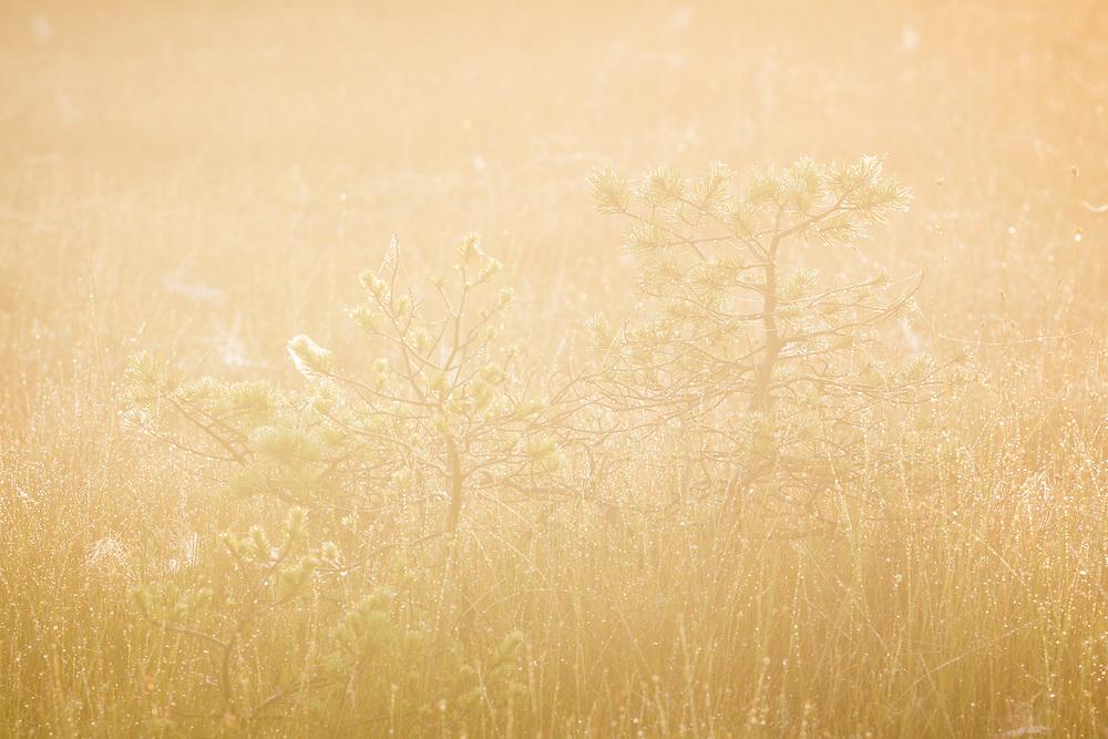 Small scots pines (Pinus sylvestris) covered in dew and spiderwebs in foggy morning in raised bog, Kemeri National Park (Ķemeru Nacionālais parks), Latvia Ⓒ Davis Ulands | davisulands.com