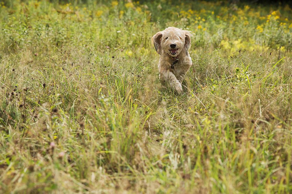 Fluffy mutt running through a field