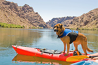 A dog stays on watch on the bow of her owner's kayak in The Black Canyon, Nevada.