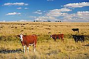 Cattle. Hereford<br /> Cypress Hills<br /> Saskatchewan<br /> Canada