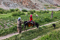 Tadjikistan, Asie centrale, Monts Fan, la vallée du Yagnob, recolte des pomems de terre // Tajikistan, Central Asia, Fann Mountains, Yagnob valley, potato harvest