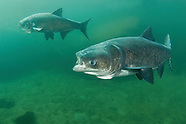 Bighead Carp, Underwater