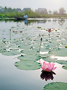 Lilly and lilly pads on Lake Dal, Kashmir, India