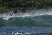 bottlenose dolphin, Tursiops aduncus ( formerly T. truncatus ), leaps from the back of a wave it was surfing,  during annual Sardine Run, Transkei, South Africa ( Indian Ocean )