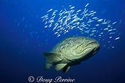 Goliath grouper or jewfish, <br /> Epinephelus itajara, <br /> off Key West, Florida ( Gulf of Mexico )