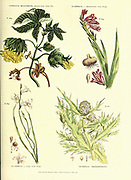 Gossypium religiosum [Spotted-bark Cotton Tree] Gladiolus [Byzantium Corn Flag] Gladiolus Cape Corn Flag] Gundelia tournefortii [Tournefort's gundelia] from Vol 1 of the book The universal herbal : or botanical, medical and agricultural dictionary : containing an account of all known plants in the world, arranged according to the Linnean system. Specifying the uses to which they are or may be applied By Thomas Green,  Published in 1816 by Nuttall, Fisher & Co. in Liverpool and Printed at the Caxton Press by H. Fisher