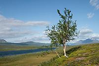 Birch tree along wider valley of Vuojatädno river along Padjelantaleden Trail, Lapland, Sweden