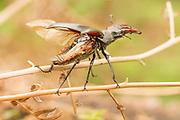 Stag beetle (Lucanus cervus) warming its wings. Surrey, UK.