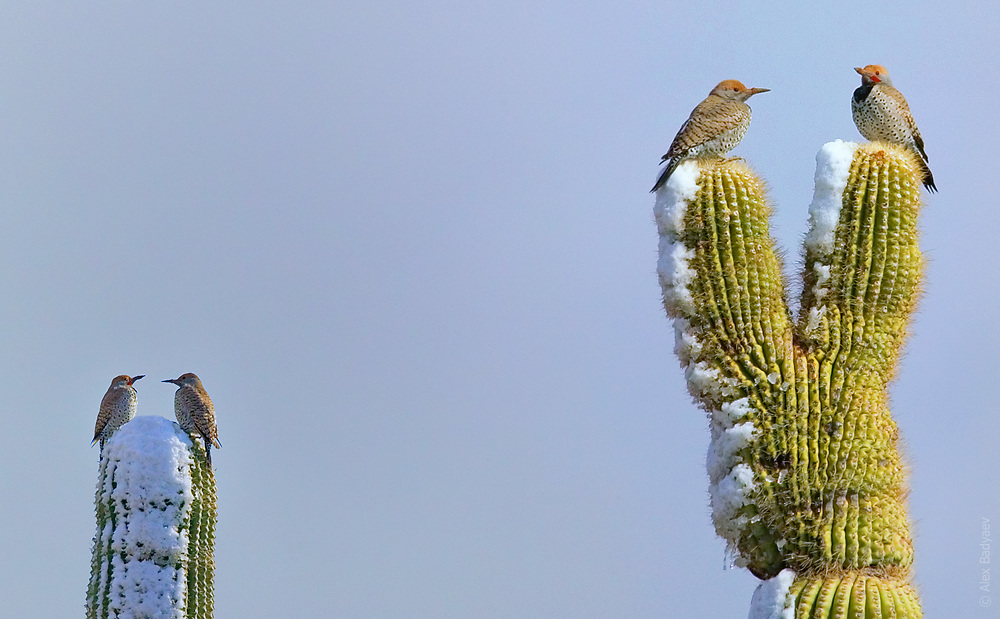 SONORAN WINTERS AREN'T WHAT THEY USED TO BE   Two aging couples of Gilded Flickers grumble about climate change