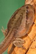 Riobamba Marsupial Frog Tadpole (Gastrotheca riobambae) CAPTIVE<br /> Andes, ECUADOR, South America