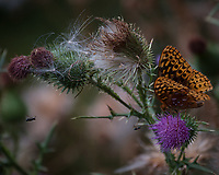 Great Spangled Fritillary butterfly on a Thistle flower. Image taken with a Nikon D810a camera and 80-400 mm VRII lens.