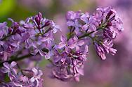 Syringa vulgaris a close-up of Lilac petals
