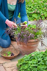 Harvesting pot grown salad leaves including Mustard 'Red Frills'.