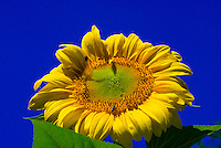 Sunflowers, Littleton, Colorado USA.