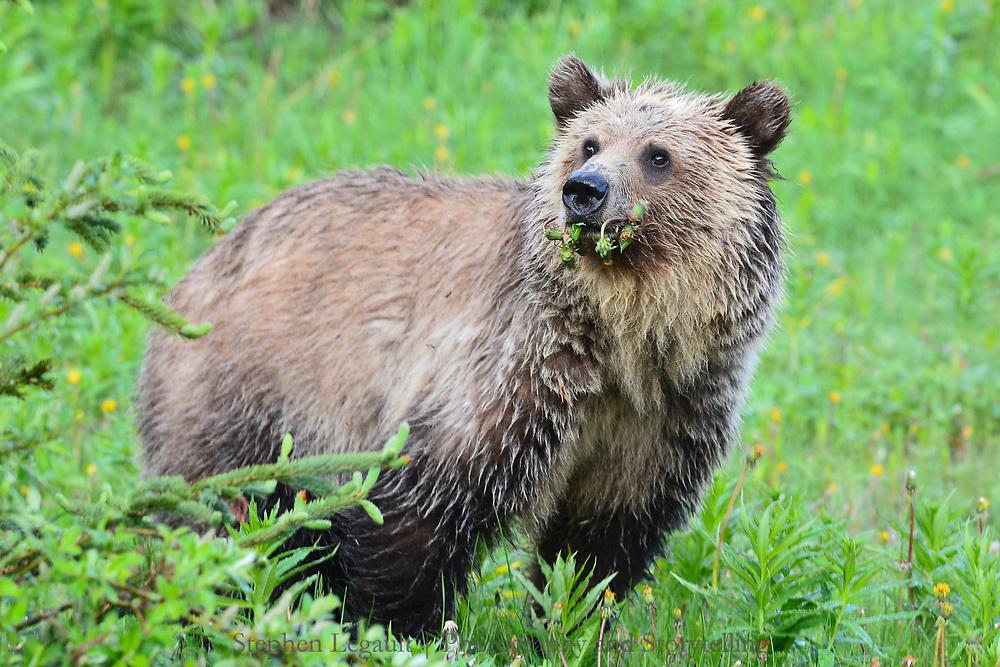 Grizzly Bear and Dandelions, Kananaskis, Alberta