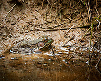 Kermit the Bullfrog. Image taken with a Nikon N1V3 camera and 70-300 mm VR lens (ISO 720, 300 mm, f/5.6, 1/250 sec)